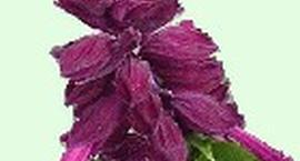 Szałwia błyszcząca - Salvia splendens