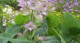 Szałwia muszkatołowa - Salvia sclarea