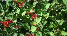 Wiciokrzew przewiercień – Lonicera caprifolium