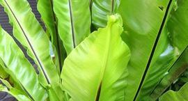 Zanokcica gniazdowa - Asplenium