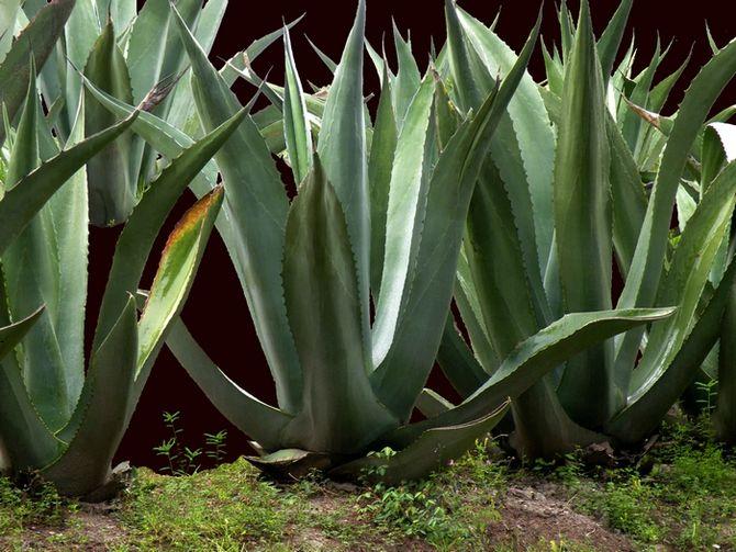 Agawa agave ro liny doniczkowe for Gartenpflanzen winterhart