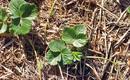 Sadzonki truskawek - odmiany wczesne i późne