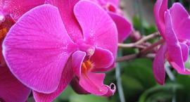 Wszystko o storczyku Falenopsis (Phalaenopsis)