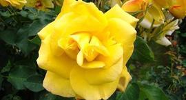 Żółte róże - najciekawsze odmiany