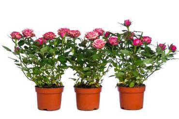 Róże doniczkowe