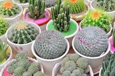 Kaktusy - choroby i szkodniki
