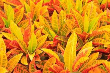 Kroton (Codiaeum) – kwiat dla każdego
