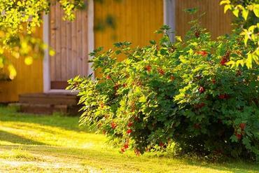 Porzeczki – uprawa, pielęgnacja i ciekawe odmiany