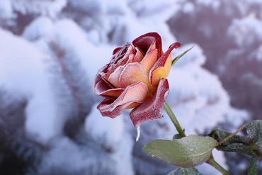 Okrywanie róż i hortensji na zimę