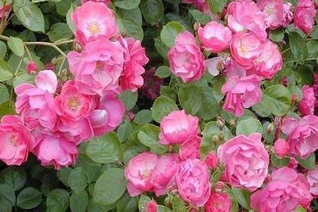 Róże - królewskie piękno w każdym ogrodzie