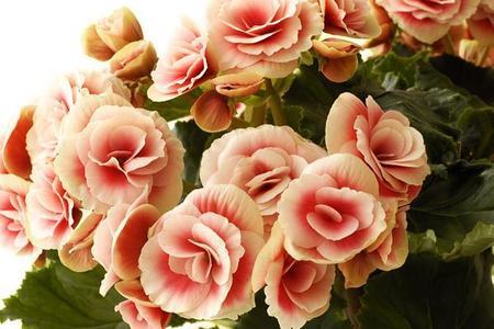 Begonie idealne kwiaty na balkon