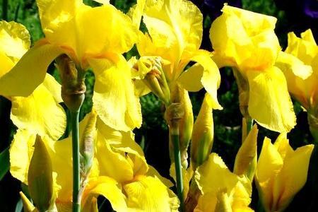 Żółte kwiaty w ogrodzie i na balkonie