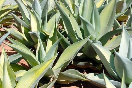 Kwitnąca agawa - roślina dla cierpliwych