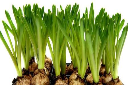 Pędzenie cebulek kwiatowych czyli tulipany, hiacynty, krokusy i narcyzy w każdym domu