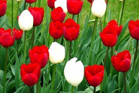 Czerwone kwiaty – płomień w ogrodzie i na balkonie