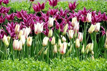 Wiosenne kwiaty cebulkowe w ogrodzie