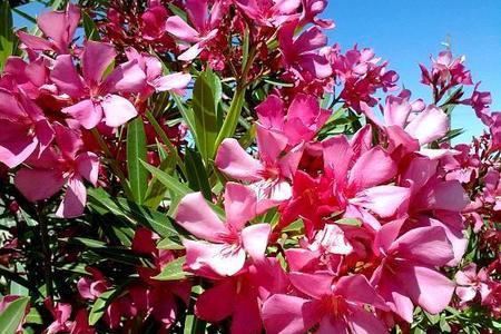 Oleander – podlewanie, rozmnażanie, przycinanie i choroby