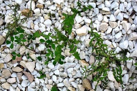 Chwasty w ogrodzie i na trawniku