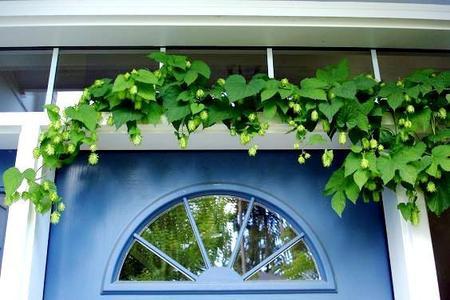Chmiel w ogrodzie – uprawa i pielęgnacja