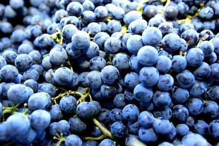 Odmiany winorośli na wino