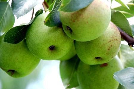 Drzewa Owocowe - Grusze