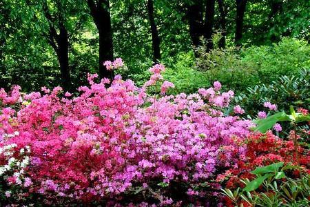 Rododendrony - uprawa, pielęgnacja, choroby