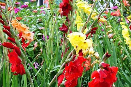 Mieczyki waleczne kwiaty - uprawa, sadzenie, rozmnażanie i pielęgnacja