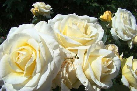 Białe róże - najciekawsze odmiany