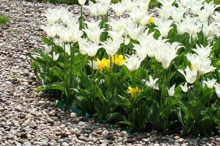 Sadzenie tulipanów