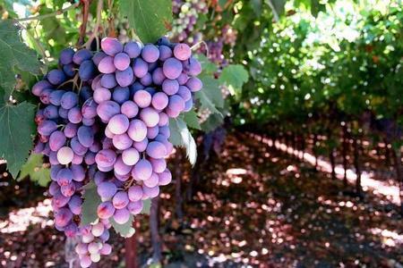 Uprawa winogron – owoce w ogrodzie