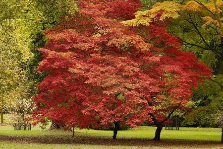 Klon palmowy - Acer palmatum