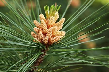 Sosna wejmutka (Wejmutka, Sosna amerykańska) – Pinus strobus