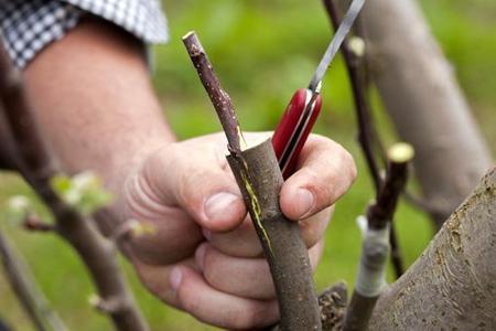 Szczepienie jabłoni