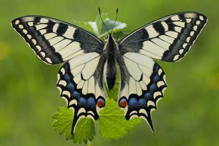 Paź królowej – Papilio machaon