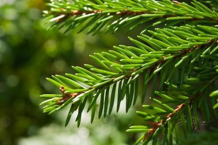 Świerk pospolity – Picea abies
