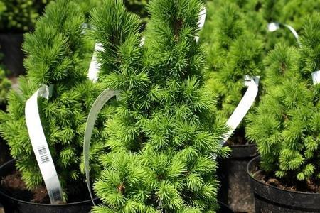 Świerk biały - Picea glauca