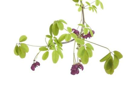 Akebia pięciolistkowa – Akebia quinata
