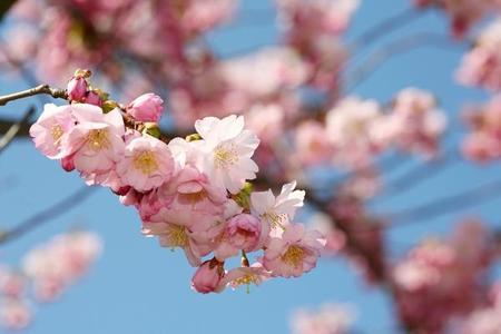 Wiśnia piłkowana – Prunus  serrulata