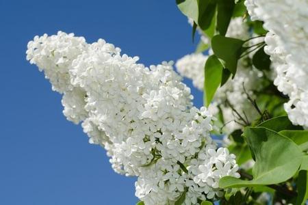 Lilak pospolity (bez zwyczajny, bez pospolity) - Syringa  vulgaris)