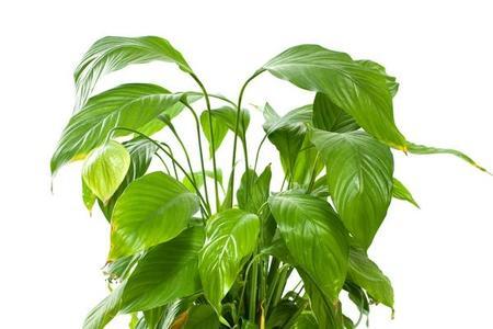 Skrzydłokwiat (Spathiphyllum)