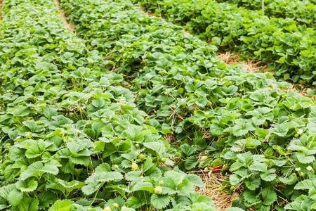 Uprawa truskawek dla każdego