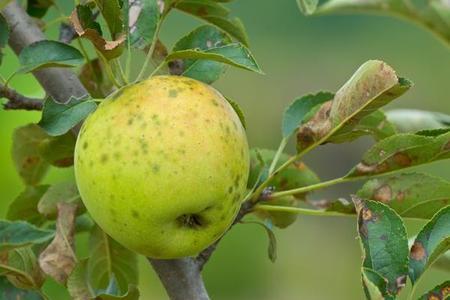 Parch jabłoni - zwalczanie