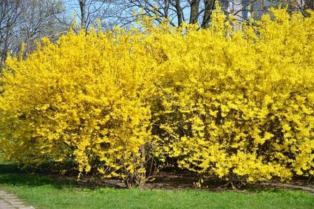 Forsycja - Krzew wiosny – Galeria zdjęć