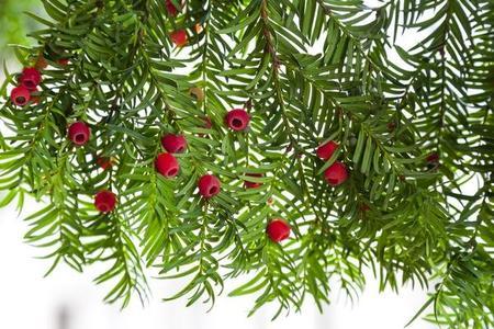 Cis – rozmnażanie, sadzonki i sadzenie