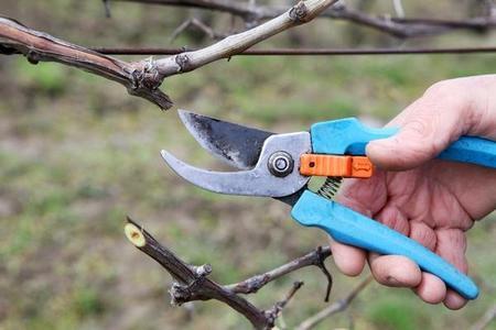 Cięcie winorośli - kiedy i jak przycinać winorośl? Podpowiadamy!