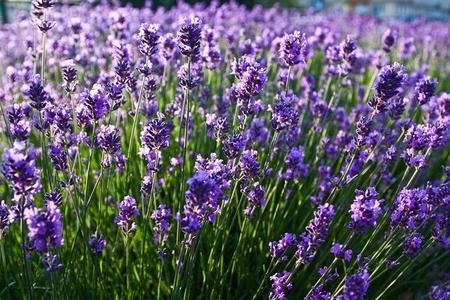 Lawenda - najciekawsze odmiany i zasady uprawy
