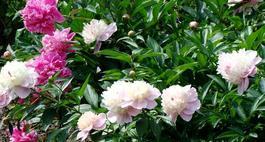 Piwonie – królewskie kwiaty w ogrodzie