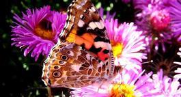 Motyle w ogrodzie – popularne kwiaty wabiące motyle