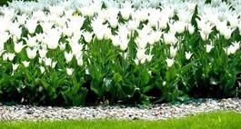Białe kwiaty w ogrodzie i na balkonie