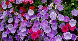 Proste w uprawie kwiaty balkonowe